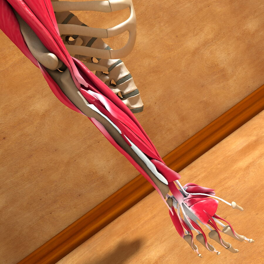 Ultimate Human Complete Arm Anatomy royalty-free 3d model - Preview no. 22