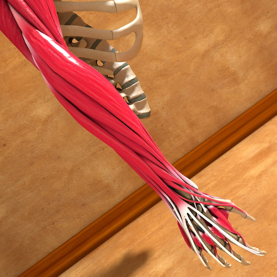Ultimate Human Complete Arm Anatomy royalty-free 3d model - Preview no. 15