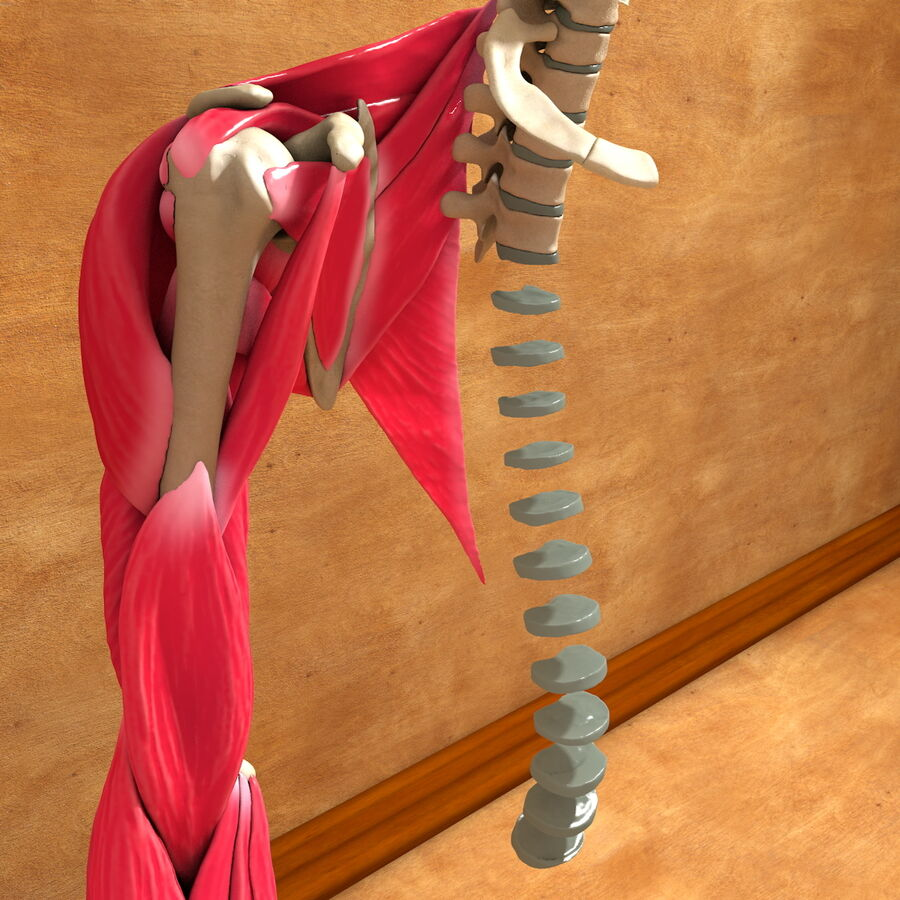 Ultimate Human Complete Arm Anatomy royalty-free 3d model - Preview no. 8