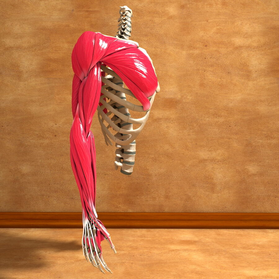 Ultimate Human Complete Arm Anatomy royalty-free 3d model - Preview no. 1