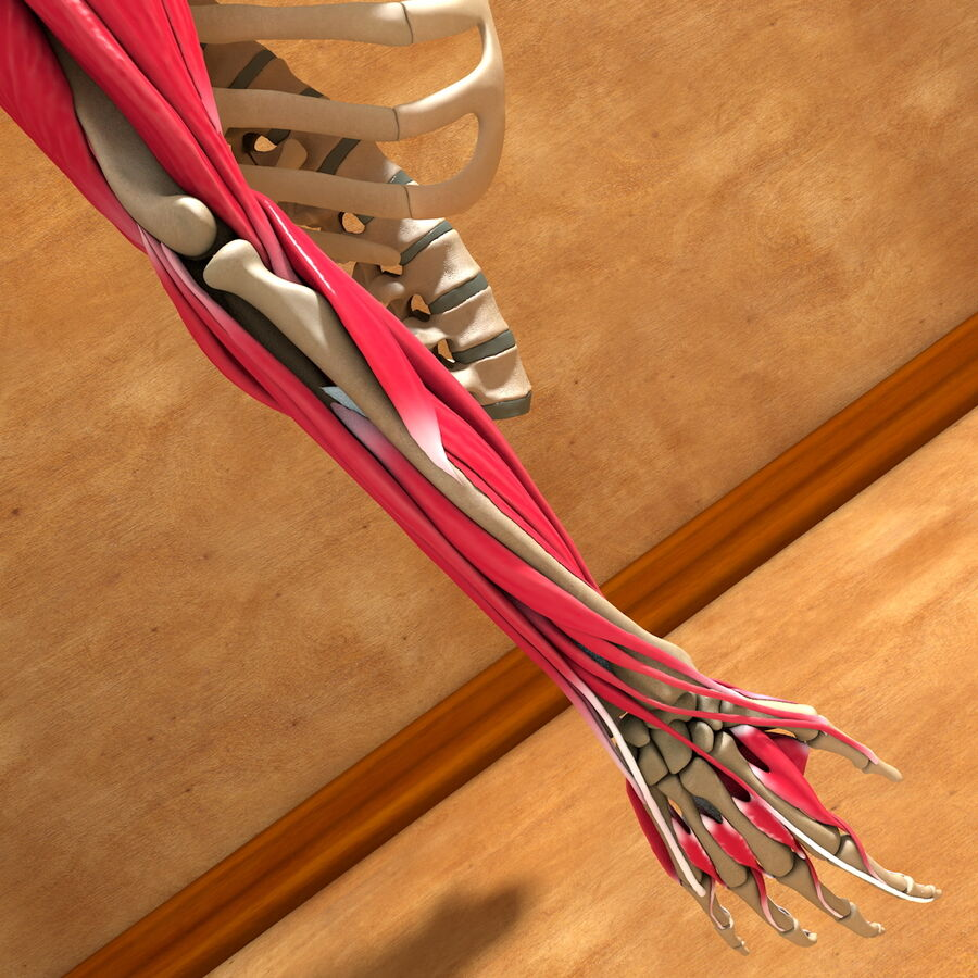 Ultimate Human Complete Arm Anatomy royalty-free 3d model - Preview no. 19