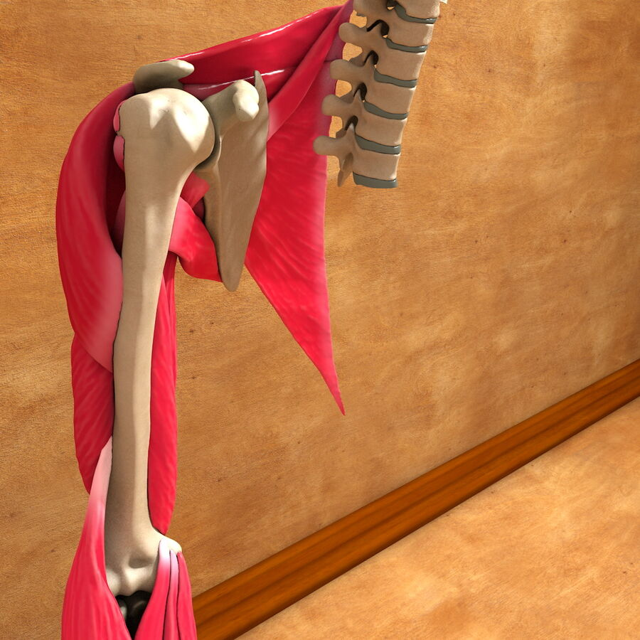 Ultimate Human Complete Arm Anatomy royalty-free 3d model - Preview no. 10