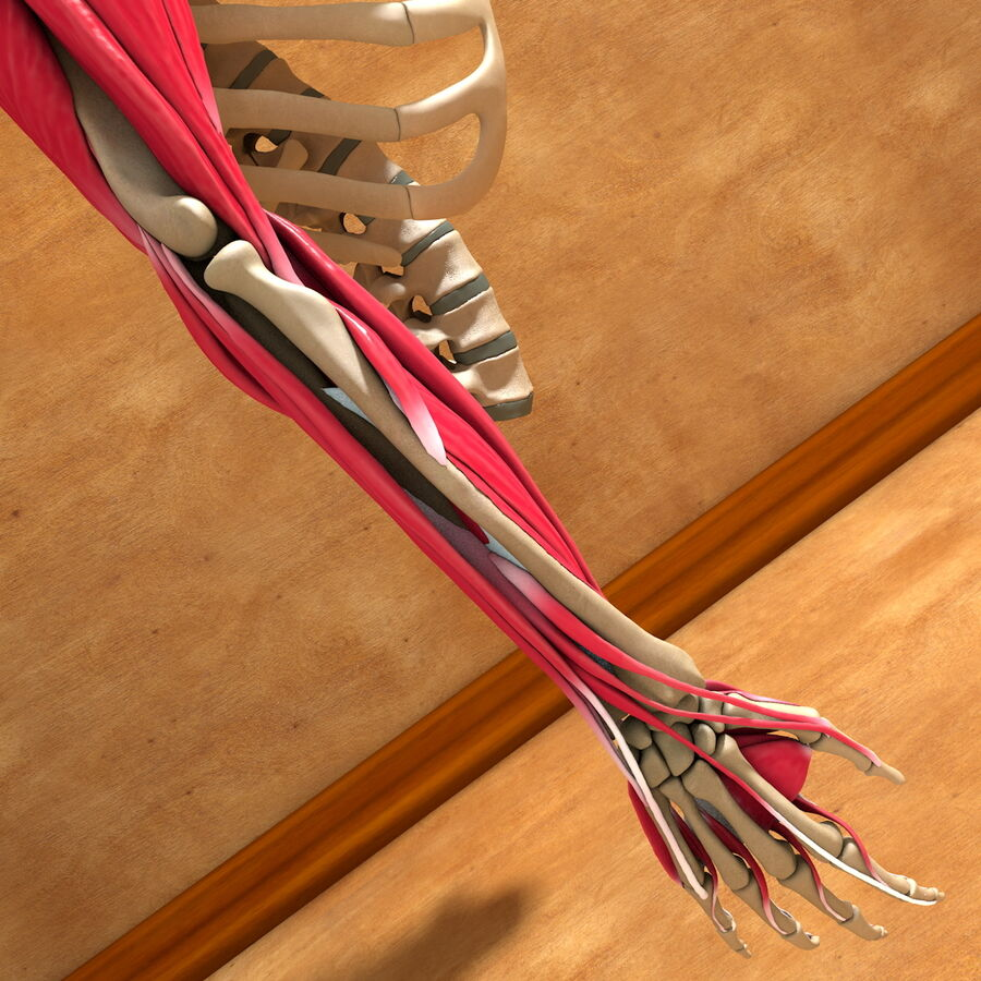Ultimate Human Complete Arm Anatomy royalty-free 3d model - Preview no. 20