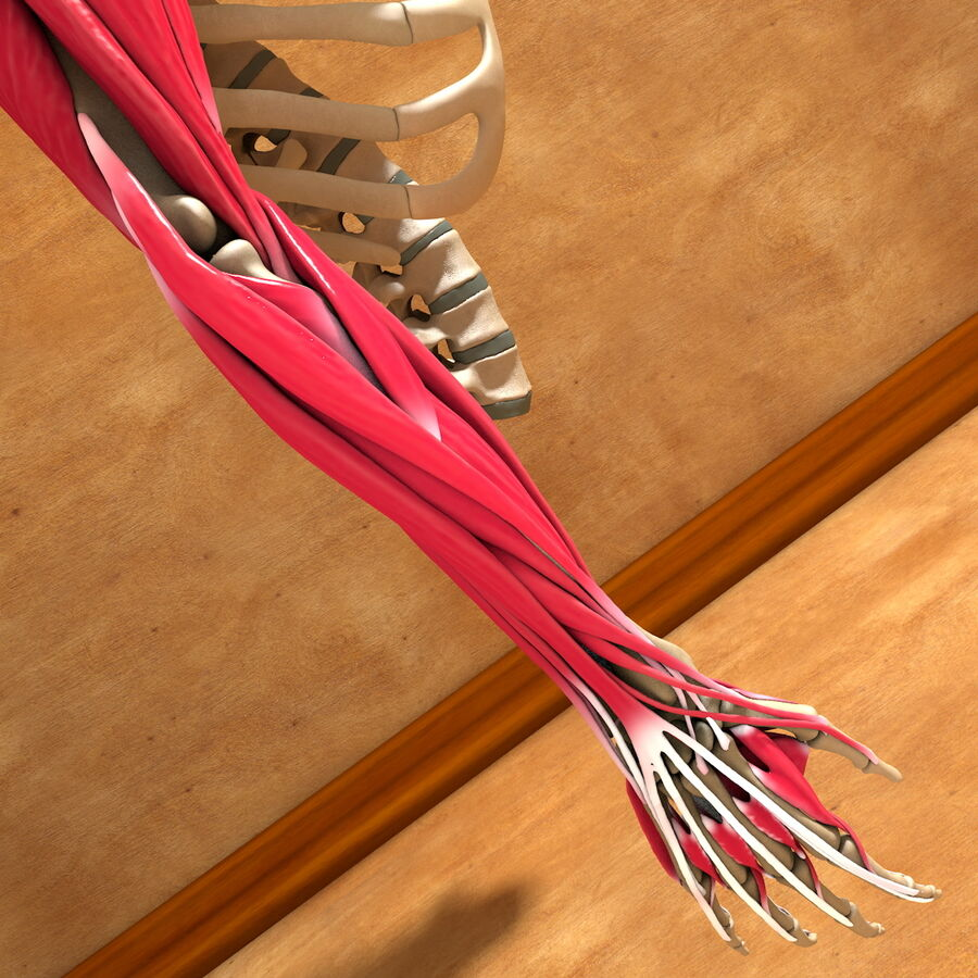 Ultimate Human Complete Arm Anatomy royalty-free 3d model - Preview no. 16