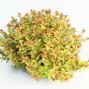 Spiraea japonica, Japanese spiraea 3d model
