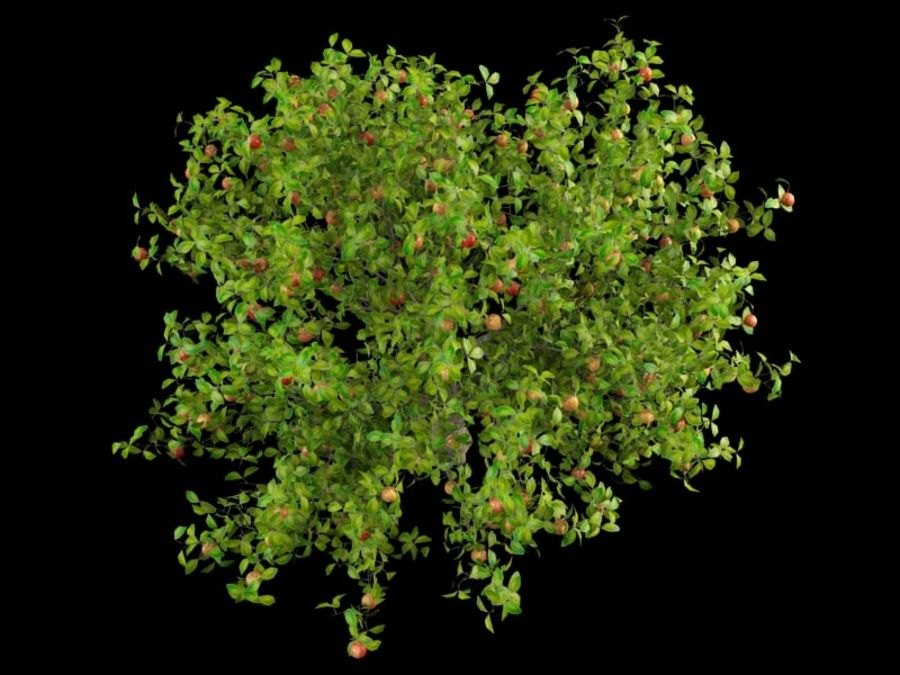 malus apple tree crabapples royalty-free 3d model - Preview no. 4