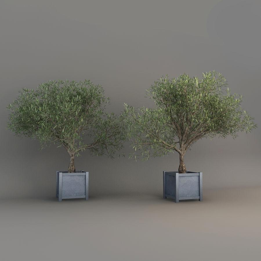 Olijfboom royalty-free 3d model - Preview no. 6