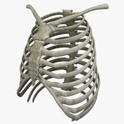 Göğüs kafesi 3d model