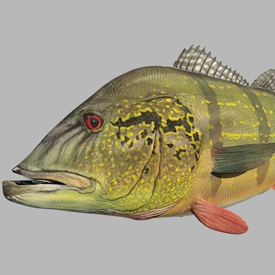 Speckled Peacock Bass royalty-free 3d model - Preview no. 10