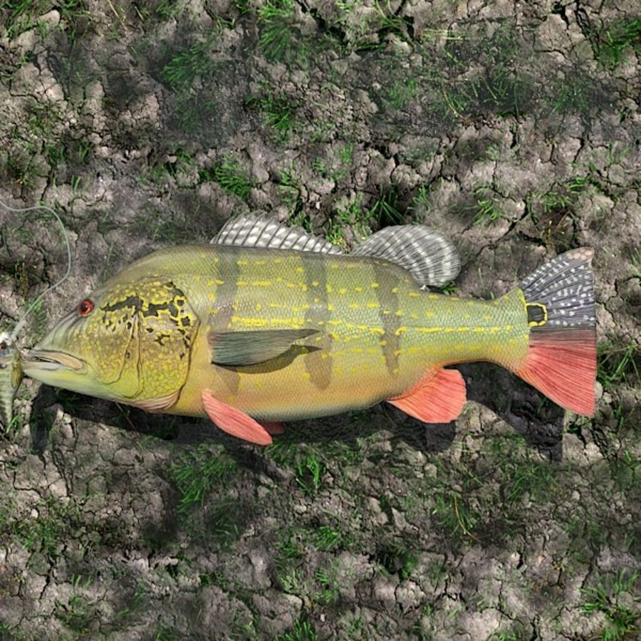 Speckled Peacock Bass royalty-free 3d model - Preview no. 2