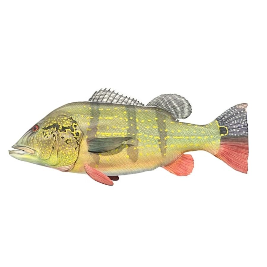 Speckled Peacock Bass royalty-free 3d model - Preview no. 1