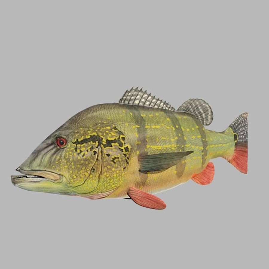 Speckled Peacock Bass royalty-free 3d model - Preview no. 4