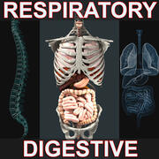 Système respiratoire et digestif 3d model