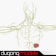 Système lymphatique humain 3d model
