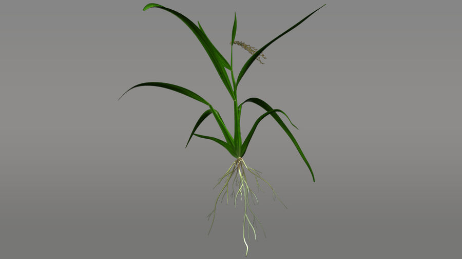 Fibrous root system royalty-free 3d model - Preview no. 4