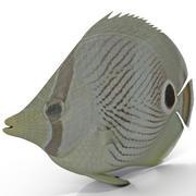 Falterfisch 3d model
