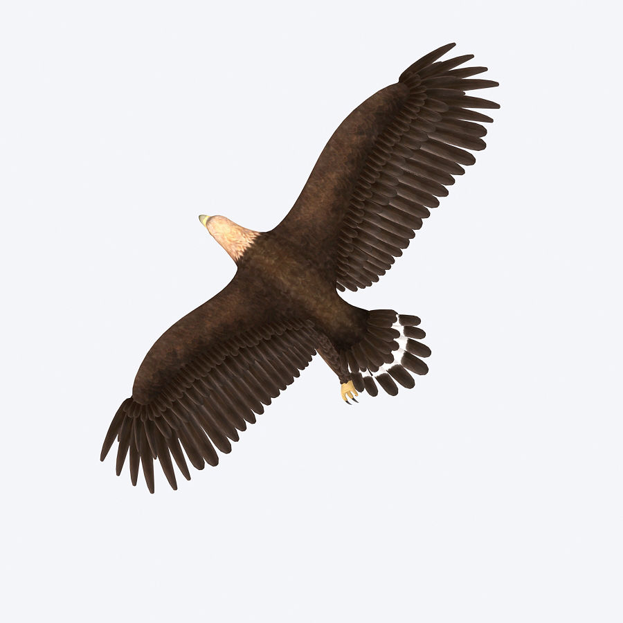 Steinadler royalty-free 3d model - Preview no. 4