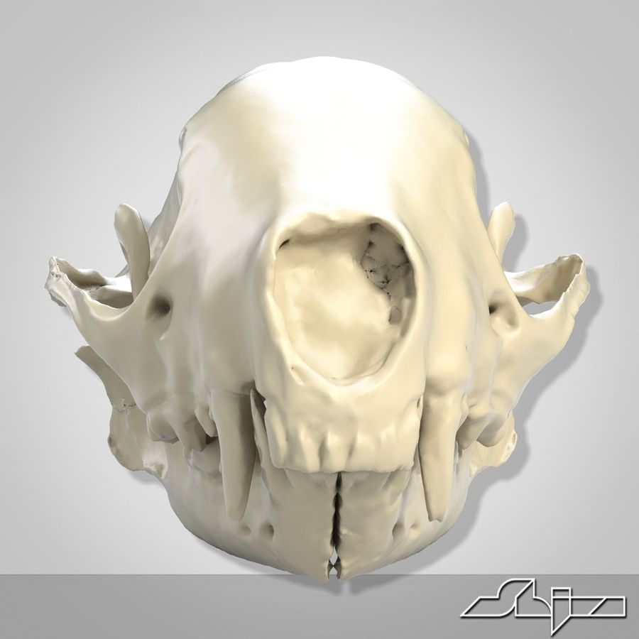 Skunk Skull Scan royalty-free 3d model - Preview no. 5