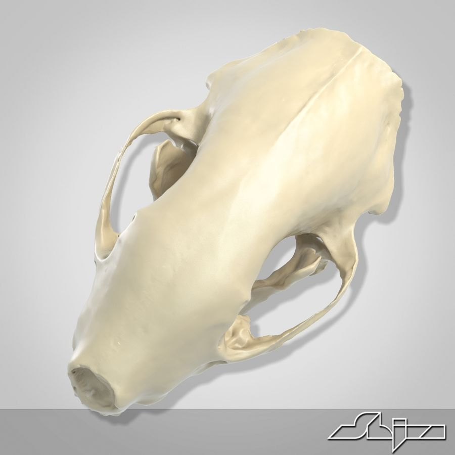 Skunk Skull Scan royalty-free 3d model - Preview no. 4