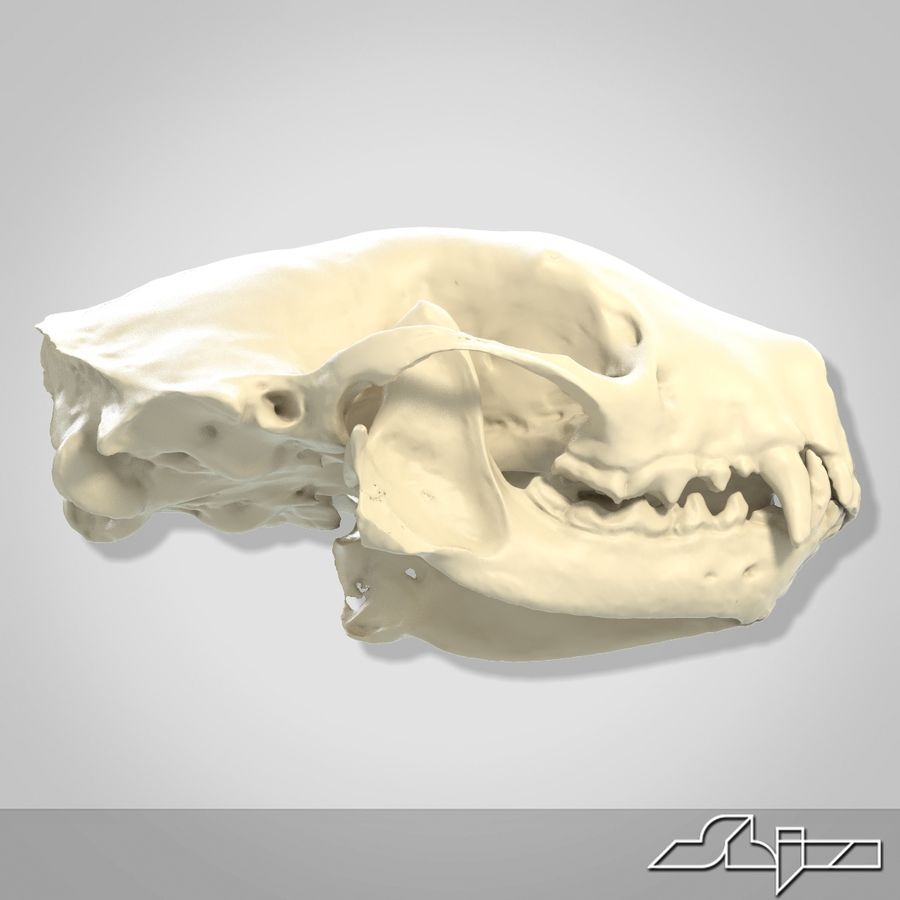 Skunk Skull Scan royalty-free 3d model - Preview no. 7