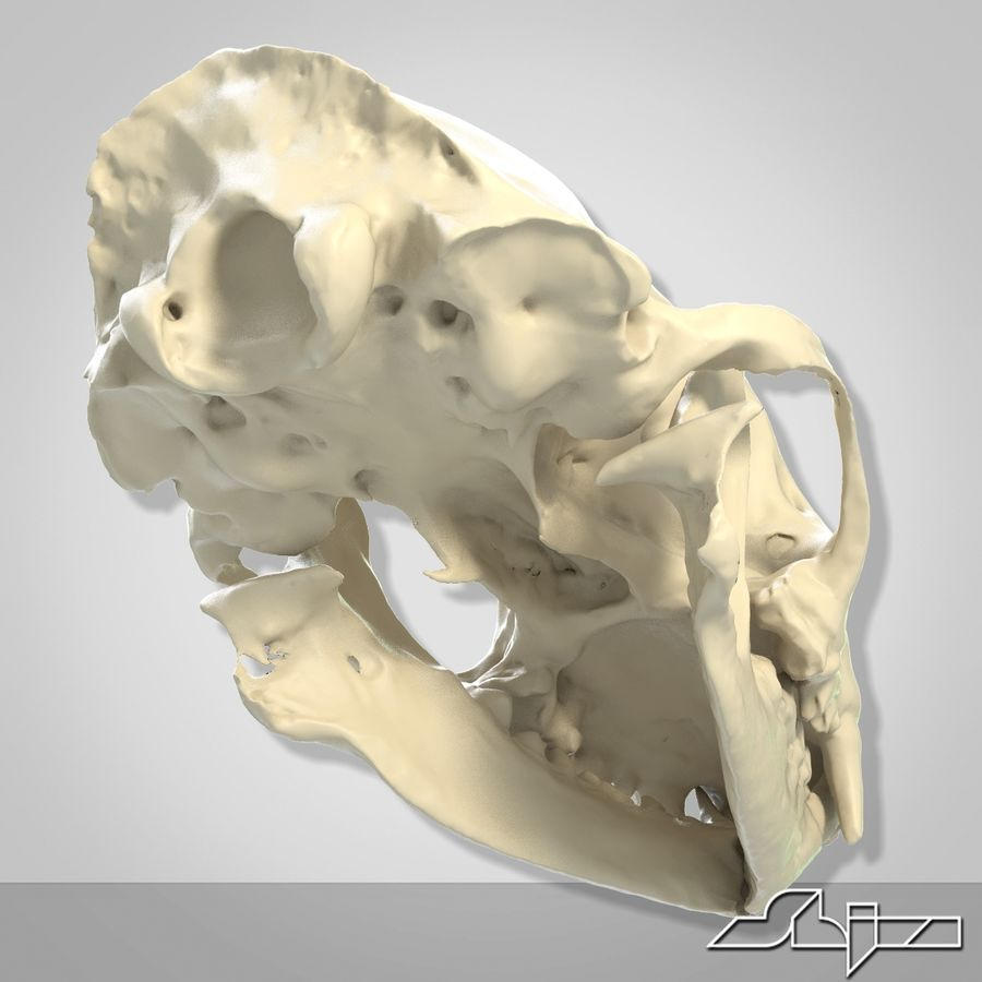 Skunk Skull Scan royalty-free 3d model - Preview no. 6