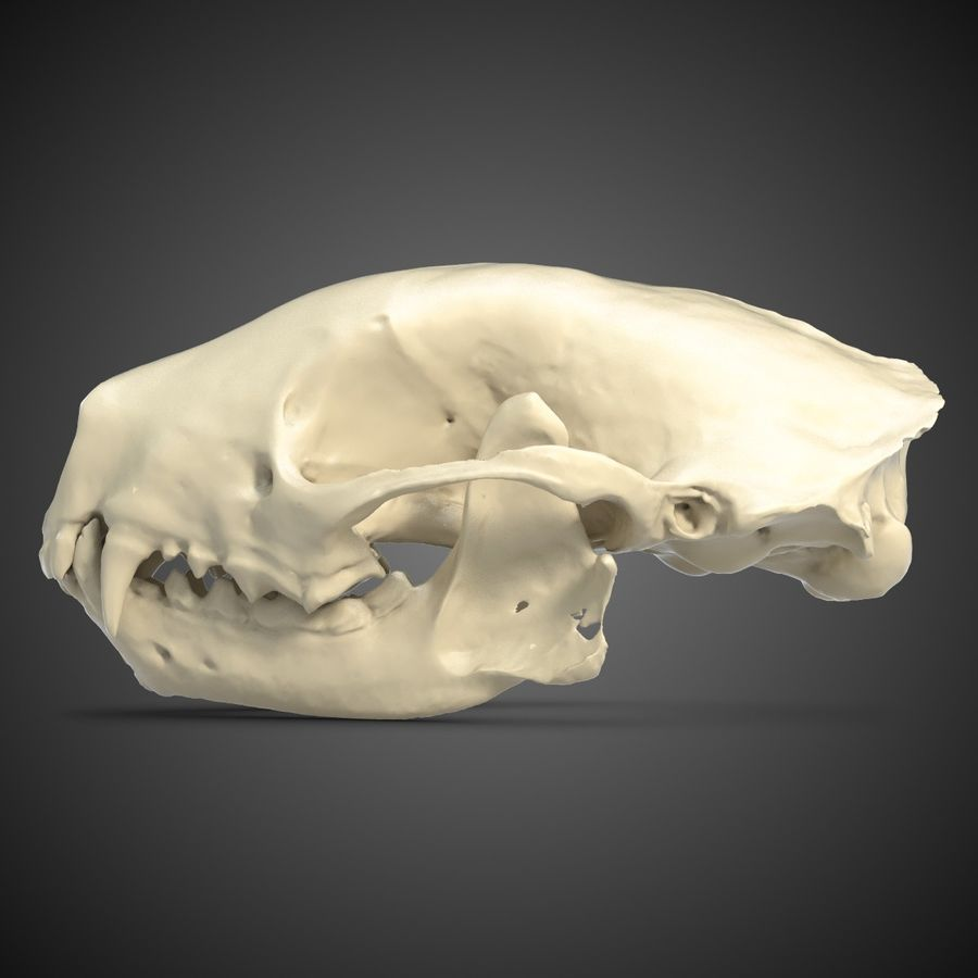 Skunk Skull Scan royalty-free 3d model - Preview no. 2