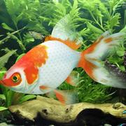 金魚のリグ 3d model