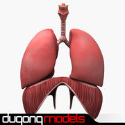 Human Respiratory System 3d model