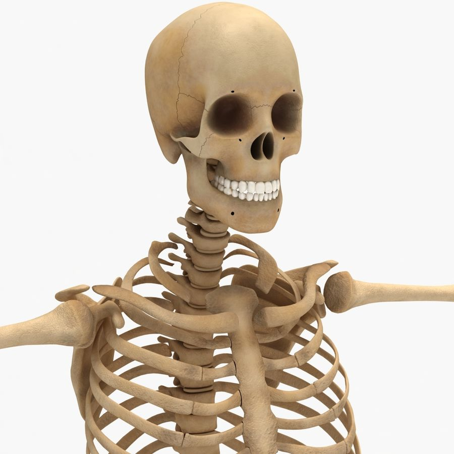 Human Skeleton royalty-free 3d model - Preview no. 16