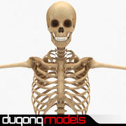 Menselijk skelet 3d model