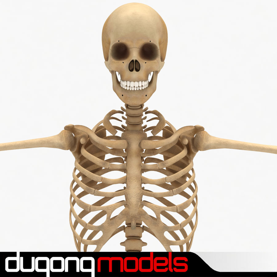 Human Skeleton royalty-free 3d model - Preview no. 1