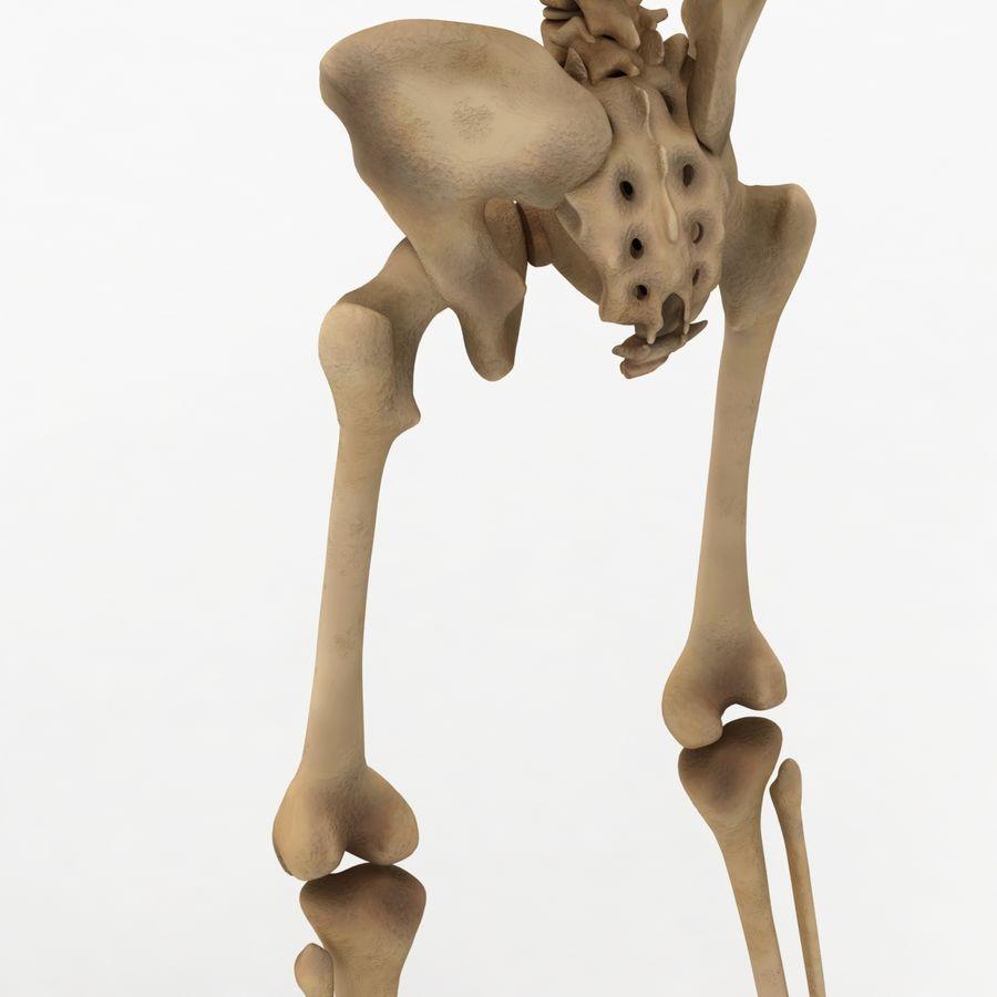 Human Skeleton royalty-free 3d model - Preview no. 14