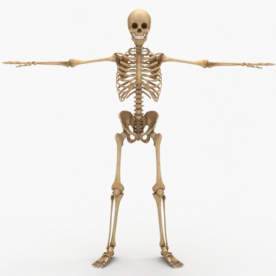 Human Skeleton royalty-free 3d model - Preview no. 3