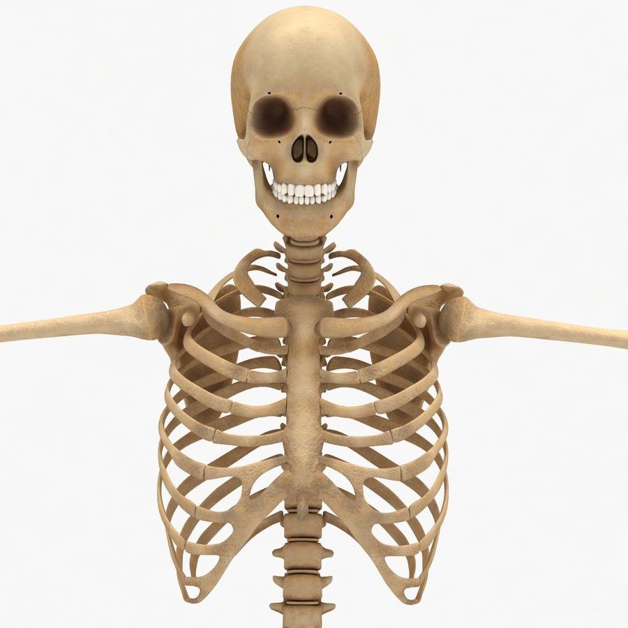 Human Skeleton royalty-free 3d model - Preview no. 2