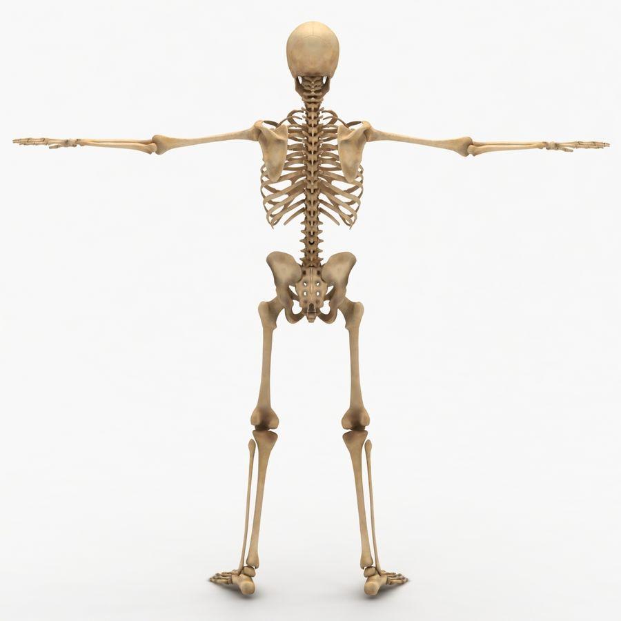 Human Skeleton royalty-free 3d model - Preview no. 4