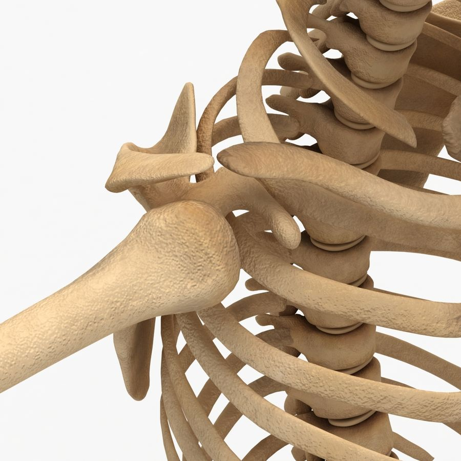 Human Skeleton royalty-free 3d model - Preview no. 10
