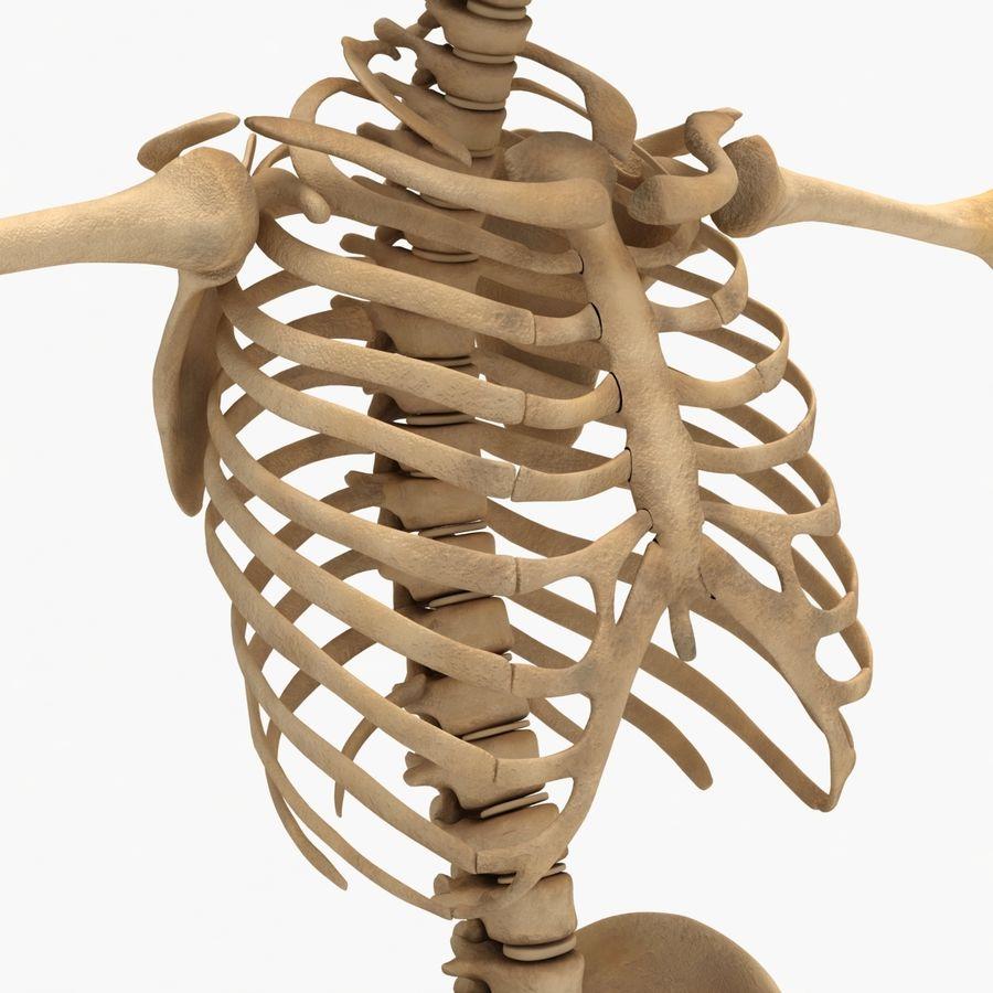 Human Skeleton royalty-free 3d model - Preview no. 11