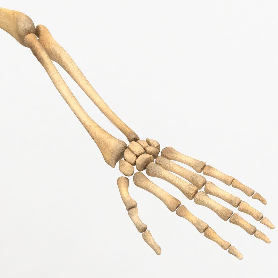 Human Skeleton royalty-free 3d model - Preview no. 19