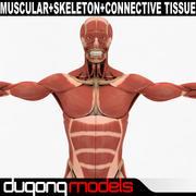 Sistema muscular e esquelético humano e tecido conjuntivo 3d model