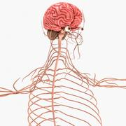 Mänskligt nervsystem 3d model