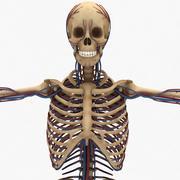 Système circulatoire humain et squelette 3d model