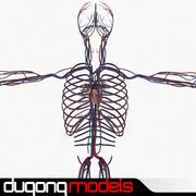 Système circulatoire humain 3d model