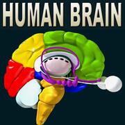 Gehirn alle Formate 3d model