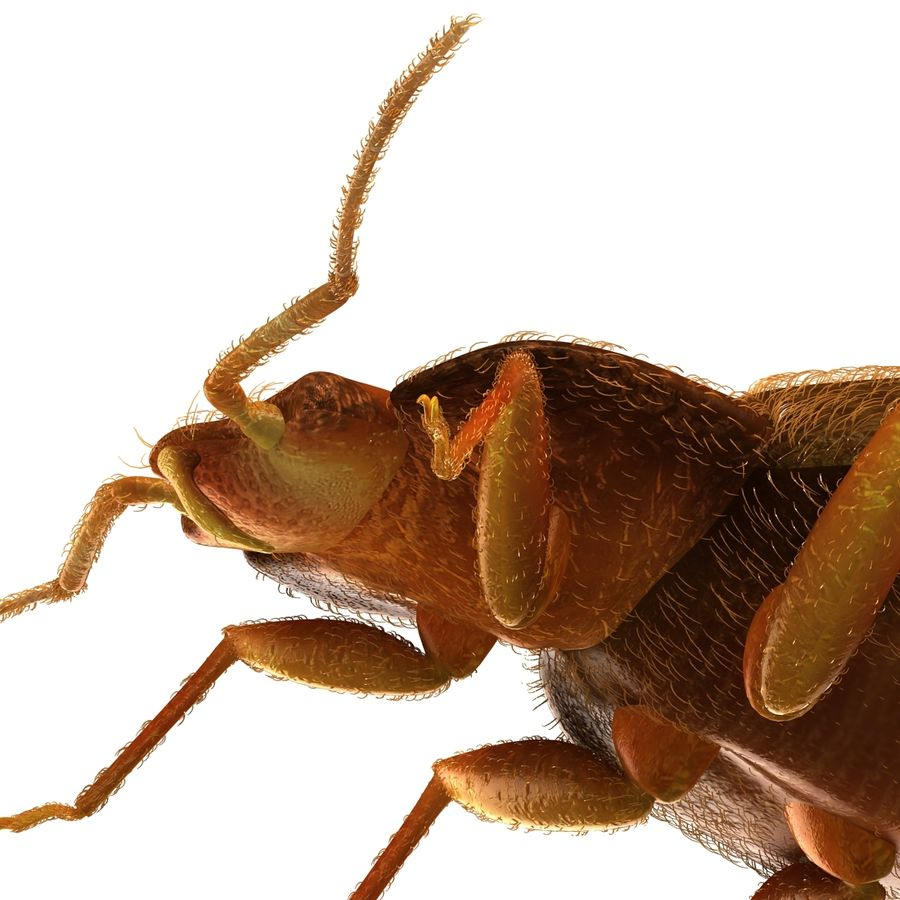 Bed Bug royalty-free 3d model - Preview no. 15