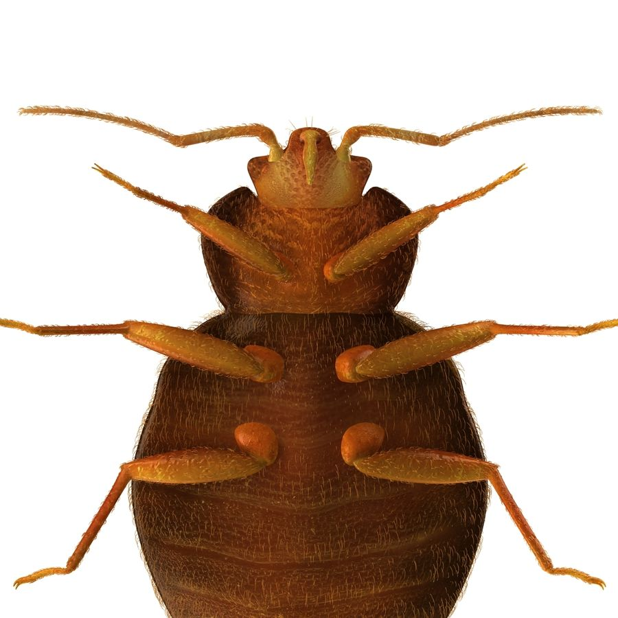 Bed Bug royalty-free 3d model - Preview no. 9