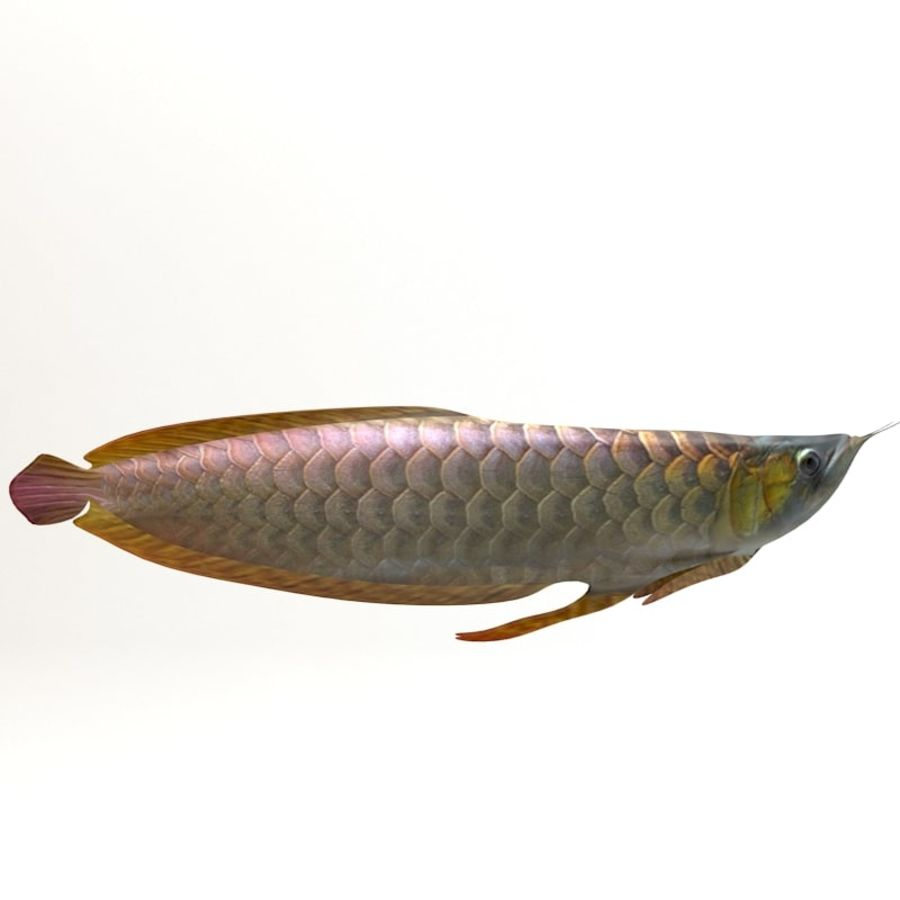 Arowana vis royalty-free 3d model - Preview no. 3