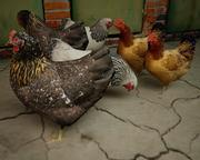 les poules 3d model