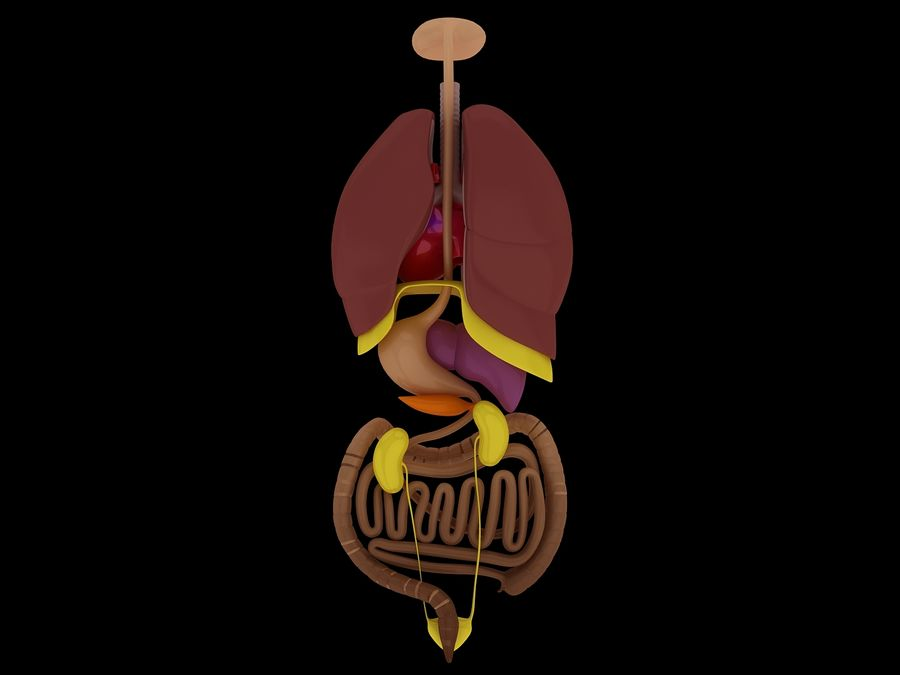 Human Internal Organ Xray royalty-free 3d model - Preview no. 8