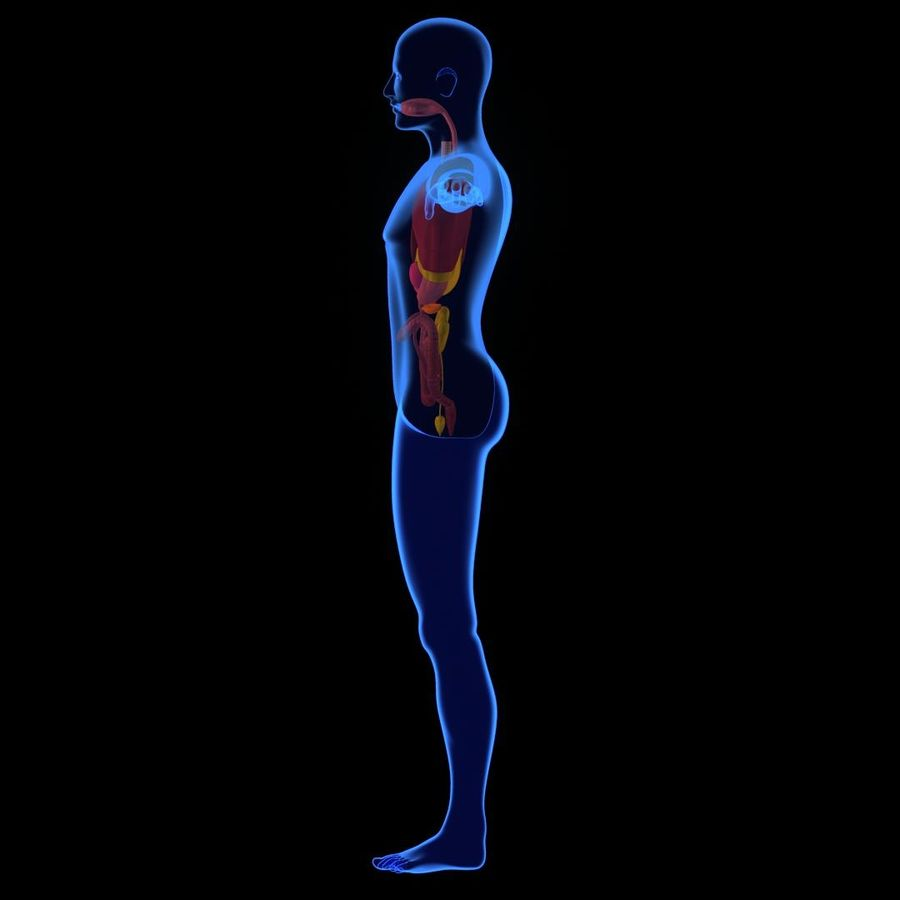 Human Internal Organ Xray royalty-free 3d model - Preview no. 2