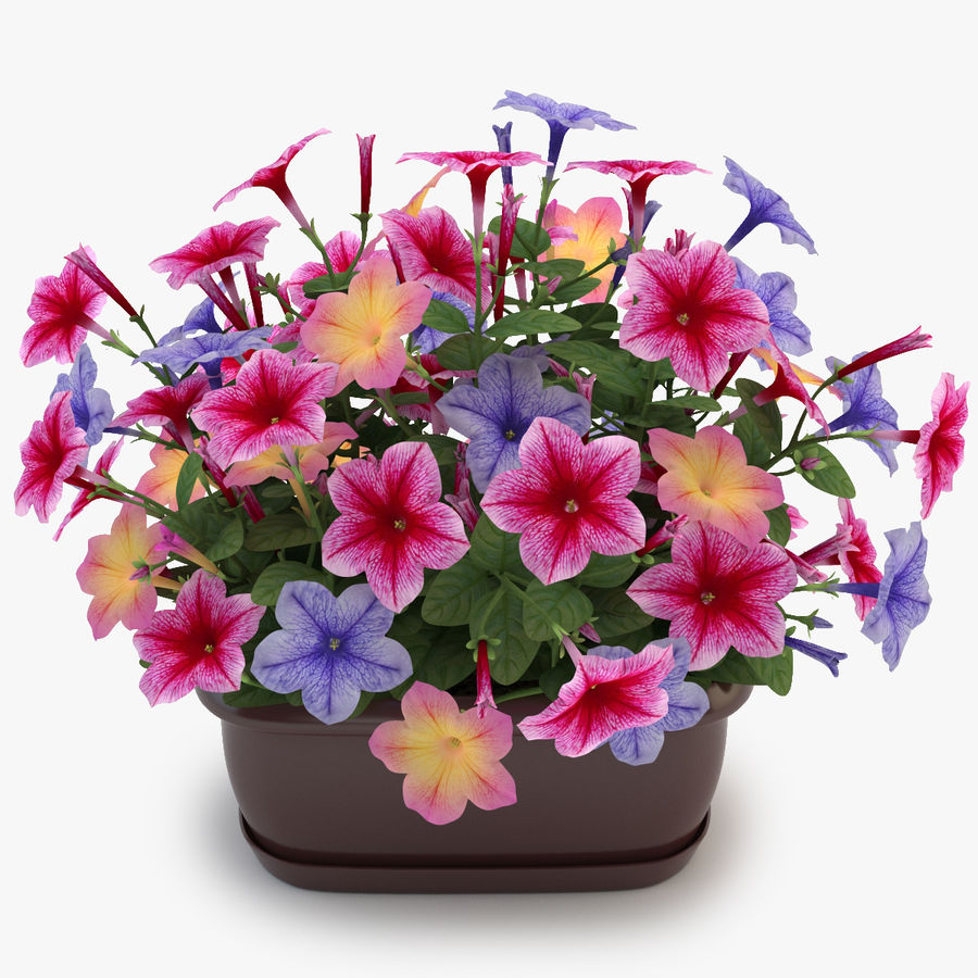 Petunia Colorful royalty-free 3d model - Preview no. 1